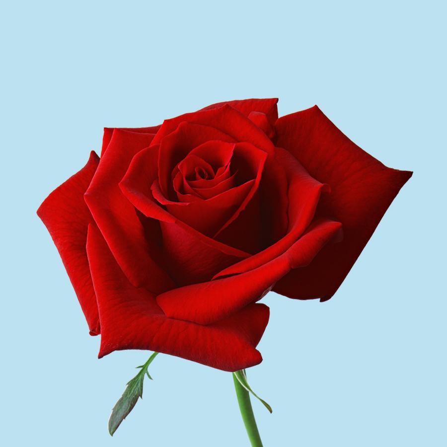 rose_PNG66966QWvuKvKgeKgh6