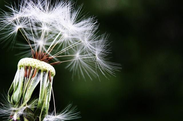 alergie-pampeliska