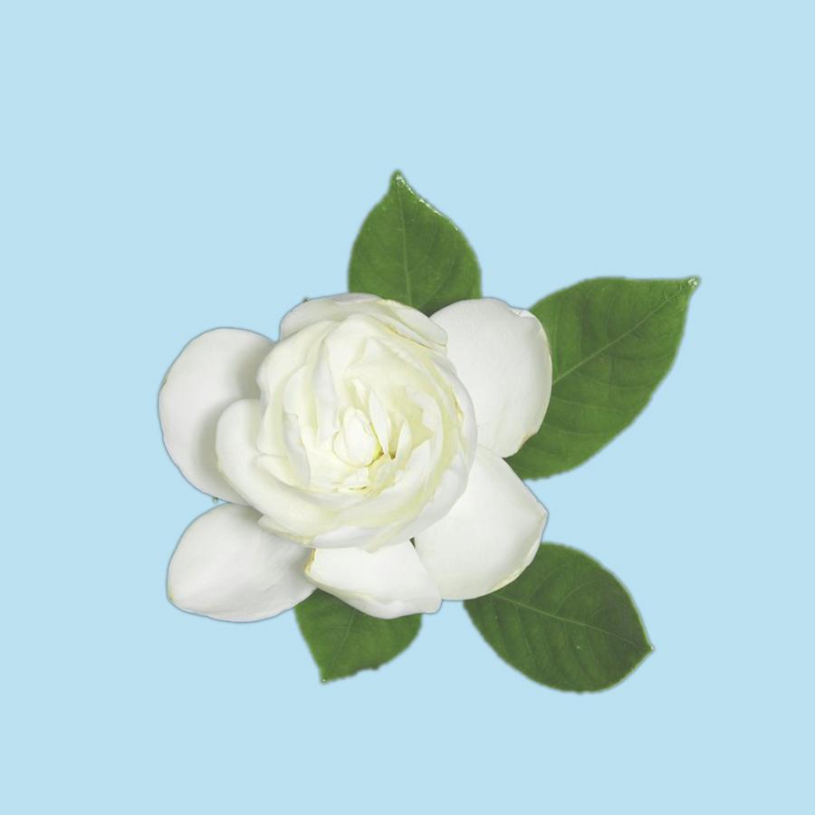 fototapety-gardenia-kvetina-s-listy-na-cernem-pozadiUX9WdIMIWgXZS